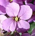 Wallflower_Erysimum_linifolium_Flower_1