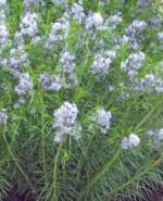 amsonia-hubrichtii-Arkansas-Bluestar-150x185