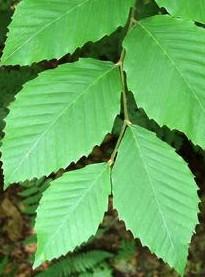 beech Am Fagus grandifolia lv 2
