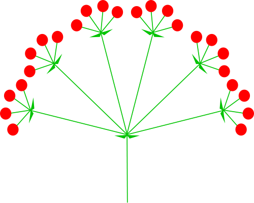 compound umbel diagram from Wikipedia