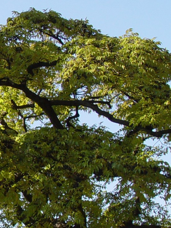 Amur-cork-tree