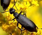 Black_blister_beetle Epicauta pennsylvanica Wikimedia