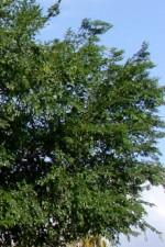 Chinese elm Ulmus parvifolia canopy