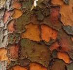 Chinese elm Ulmus parvifolia