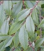 Chinese elm Ulmus parvifolia lvs