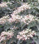 Clerodendron trichotomum Harlequin glorybower bush c fl