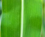 Parallel (iris)