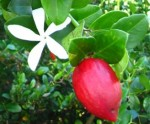 Plum Natal Carissa macrocarpa fl bery tog