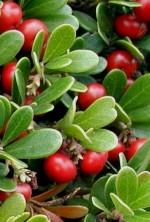 bearberry Arctostaphylos-uva-ursi