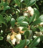 bearberry Arctostaphylos uva ursi fl