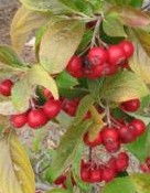 chokeberry_red aronia_arbutifolia_brilliantissima_berries