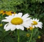 daisy-Becky-Rudbeckia-300x225