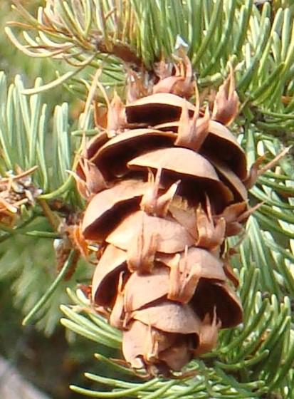 douglas-fir-cones