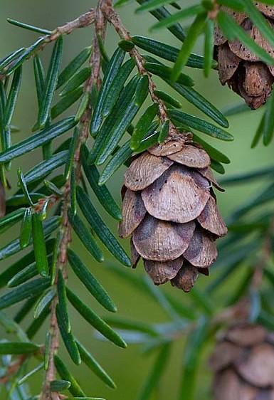 hemlock needles n cones