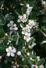 Cotoneaster-dammeri-flowering Wiki