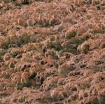 Cypress Russian Microbiota decussata br