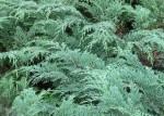 Cypress Russian Microbiota_decussata