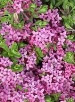 Daphne cneorum lv fl 2