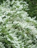 Deutzia slender Deutzia gracilis bush