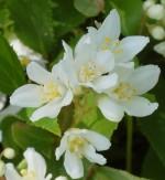 Deutzia_Slender Deutzia_gracilis_'Nikko'_Flowers Wiki