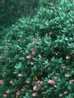 Escallonia rubra bush