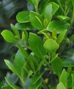 Inkberry Ilex glabra Shamrock lv