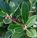 Inkberry Ilex-glabra fr 2