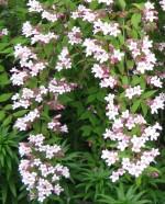 Kolkwitzia_amabilis beautybush