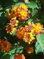 Lantana shrub L camara or yel