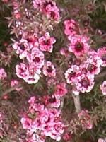 Leptospermum_scoparium Wikipedia