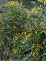 Mahonia bealei leatherleaf bush