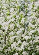 Pearlbush Exochorda racemosa bush