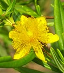 St Johnswort Shrubby Hypericum prolificum fl