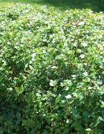 Currant alpine Ribes_alpinum