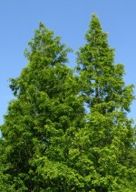 Metasequoia_glyptostroboides_Dawn redwood tree