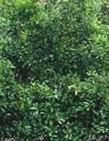 Sweet olive Osmanthus fagrans