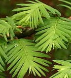 metasequoia-glyptostroboides Dawn metasequoia lv