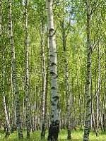 Birch European white Betula pendula stand