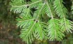 Fir European silver Abies alba branch 3
