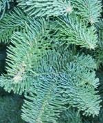 Fir Noble Abies procera stem tip