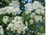 Hawthorn Washington crataegus_phaenopyrum fl