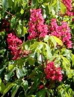 Horsechestnut Red Aesculus x carnea 2