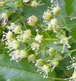Maple Amur A ginnala fl