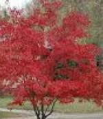Maple Amur A ginnala tree