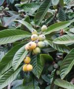 loquat  Eriobotrya japonica lv fr