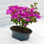 Bougainvillea glabra Amazon