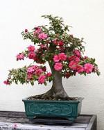 Camellia_Japanese  Wiki