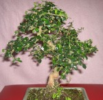 How To Care For Bonsai Fukien Tea Carmona Microphylla
