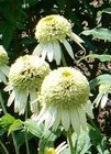 coneflower double white Coconut Lime 2