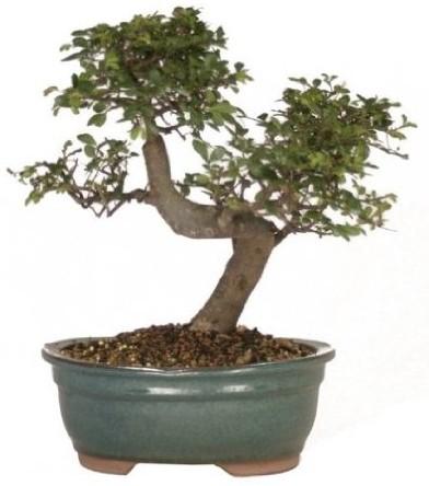 Elm Chinese Ulmus parvifolia
